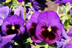 Pansy is a amazing flower and its colour combination is great. Viola tricolor var. hortensis. Viola Wittrockianna Pansy. Pansy is a amazing flower and its multi stock photos
