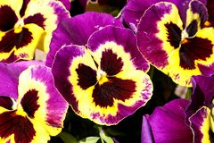 Pansy is a amazing flower and its colour combination is great. Viola tricolor var. hortensis. Viola Wittrockianna Pansy. Pansy is a amazing flower and its multi royalty free stock photo