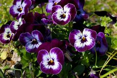 Pansy is a amazing flower and its colour combination is great. Viola tricolor var. hortensis. Viola Wittrockianna Pansy. Pansy is a amazing flower and its multi stock images