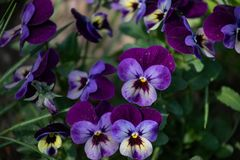 Multicolored pansies bloom in the spring garden stock photo