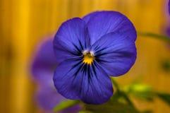Pansy azul Fotografia de Stock Royalty Free