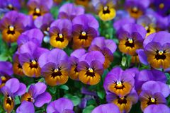 Pansy, Background, Bloom, Blossom Stock Photography