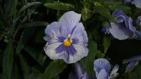 Pansy białego kwiatu błękitna purpurowa mokra woda opuszcza zdjęcia stock