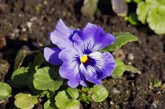 Pansy bloom Stock Photos