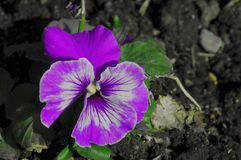 Pansy bloom Royalty Free Stock Images