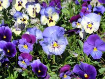 Pansy blu Fotografia Stock Libera da Diritti