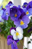 Pansy blue and yellow flowers. Royalty Free Stock Photo