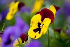 Pansy-Blumen Stockbild