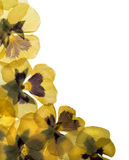 Pansy border. Pressed pansies form a curved border isolated on white background Stock Photos