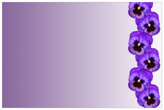 Pansy border Stock Images