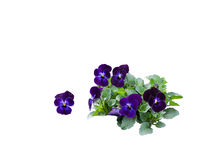 Pansy bouquet Royalty Free Stock Photo
