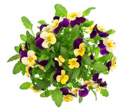 Pansy bouquet. violet and yellow spring flowers Stock Photo