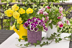 Pansy bouquets in three colors Stock Image