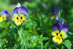 Pansy close up Stock Photography