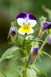 Pansy. Close up of a white and purple pansy Royalty Free Stock Photos
