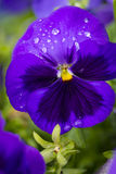 Pansy Royalty Free Stock Photography