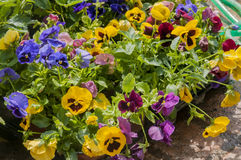 Pansy. Colorful pansy`s in pot`s Royalty Free Stock Photography