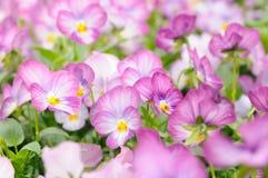 Pansy cor-de-rosa Fotos de Stock