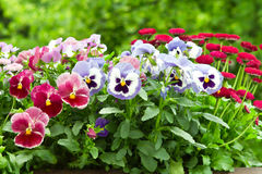 Pansy and daisy flowers. In red and blue in full bloom stock image