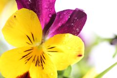 Pansy detail Royalty Free Stock Photo