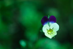 Pansy dew drop Royalty Free Stock Image