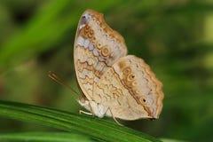 pansy di grey della farfalla Fotografia Stock