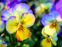 Pansy Dream Foto de Stock Royalty Free