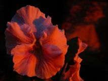 Pansy Face Blushing Bright Red Reflecting Sunset. In regular daylight, these large, ruffled pansies were light pink with purple whiskers. The fiery sunset side Royalty Free Stock Photography