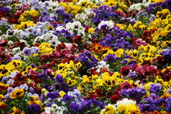 Pansy field. Lot of colourful eatable pansy flowers in the park stock image