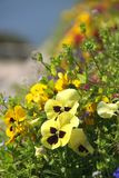 Pansy field Royalty Free Stock Image