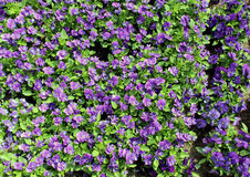Pansy Flover. Beautiful purple pansy flower backgrounds stock images
