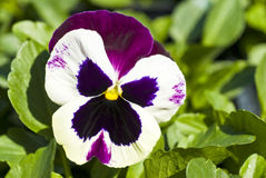Free Pansy Flower Stock Image - 13739901