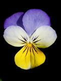 Pansy flower. Multicolor Pansy flower isolated on black royalty free stock image