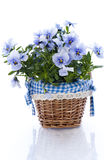 Pansy flower. With basket, on white royalty free stock photos