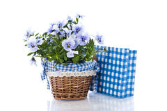 Pansy flower. With basket, on white stock photo