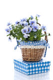 Pansy flower. With basket, on white stock images