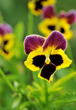 Pansy Flower Royalty Free Stock Image