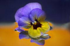 Pansy flower abstract. Macro image of yellow and purple pansy flower mirrored in water with orange background Stock Image