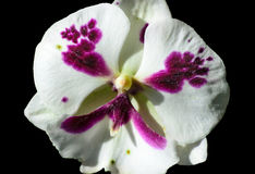 Pansy flower. On a black background Royalty Free Stock Photography