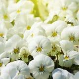 Pansy Flower blanca Foto de archivo