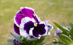 Pansy flower. Close up image of a pansy blossom Stock Images
