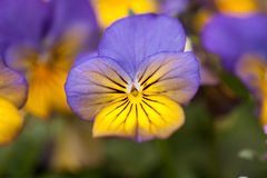 Pansy Flower Close Up in Spring Stock Photos