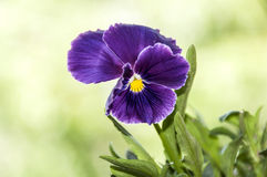 Pansy flower closeup Royalty Free Stock Photos