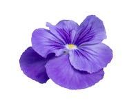 Pansy flower closeup Stock Image