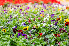 Pansy flower composition close-up Stock Images