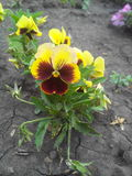Pansy flower on cracked ground Royalty Free Stock Photo