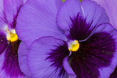 Pansy flower in dark violet purple petals with yellow middle blu Stock Image