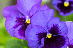 Pansy flower in dark violet purple petals with yellow middle blu Royalty Free Stock Photos