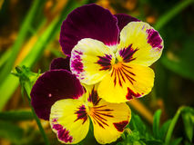 Pansy flower. On a field . Beautiful macro Stock Image