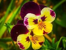 Pansy flower. On a field . Beautiful macro stock image